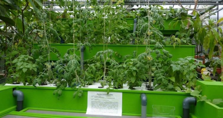 Witzenhausen: Die ersten Tomaten bilden Früchte