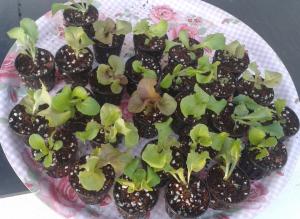Salat in 5cm Netztöpfen
