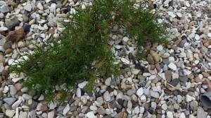 Olivenkraut im Kiesbeet
