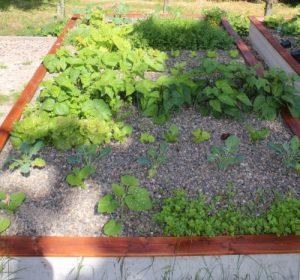 Beet 4 Unter anderem: - Rucola - Buschbohnen - Salate - Winterheckenzwiebel - Mangold - uvm.