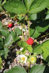 Ostara Erdbeeren